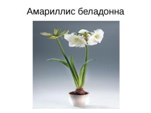 Амариллис беладонна