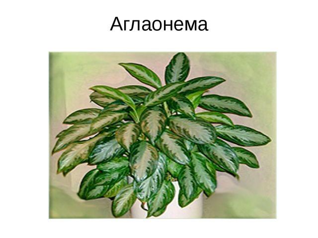 Аглаонема