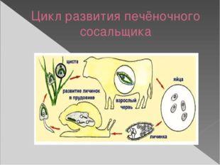 Цикл развития печёночного сосальщика