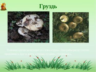 Груздь Название груздя происходит от слова «груда». Эти грибы растут плотно п