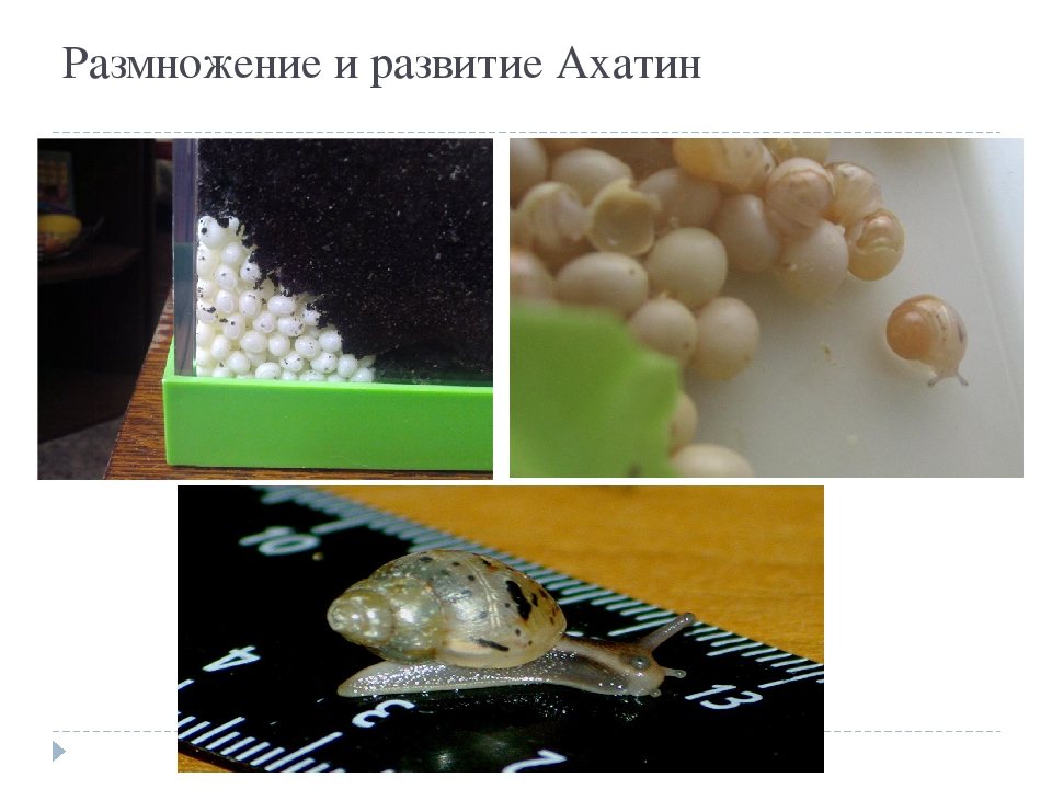 Размножение и развитие Ахатин