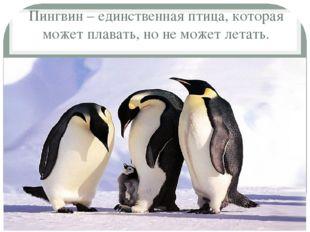 Пингвин – единственная птица, которая может плавать, но не может летать.