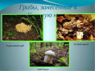 Грибы, занесённые в Красную книгу Гриб-баран Коралловый гриб Лесной коралл