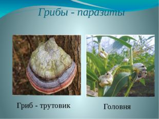Грибы - паразиты Гриб - трутовик Головня