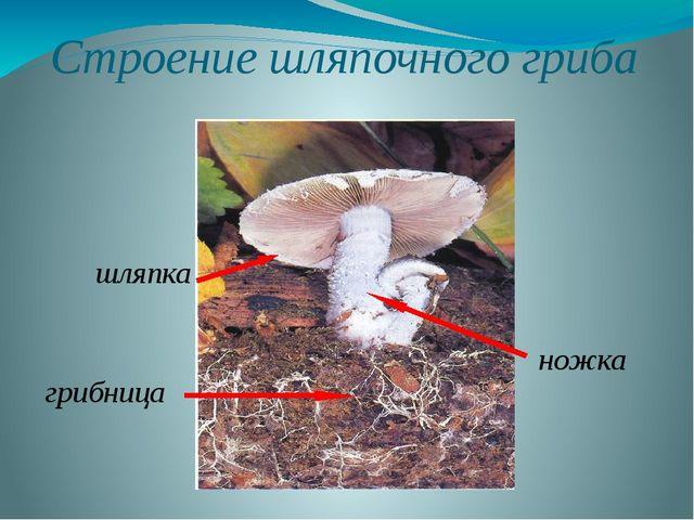 Строение шляпочного гриба грибница ножка шляпка