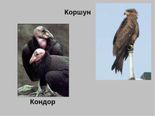 Коршун Кондор