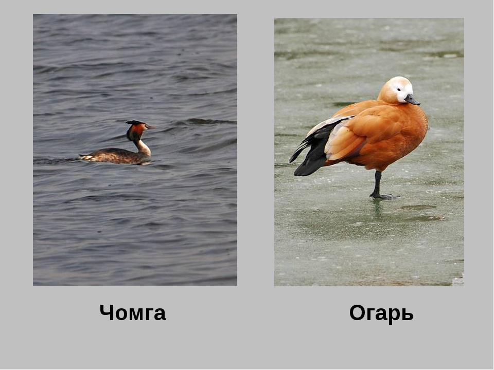 Чомга Огарь