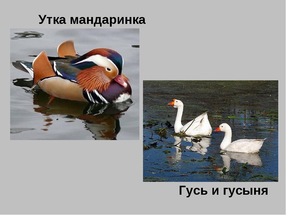 Утка мандаринка Гусь и гусыня