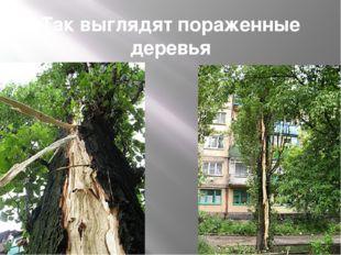 Так выглядят пораженные деревья