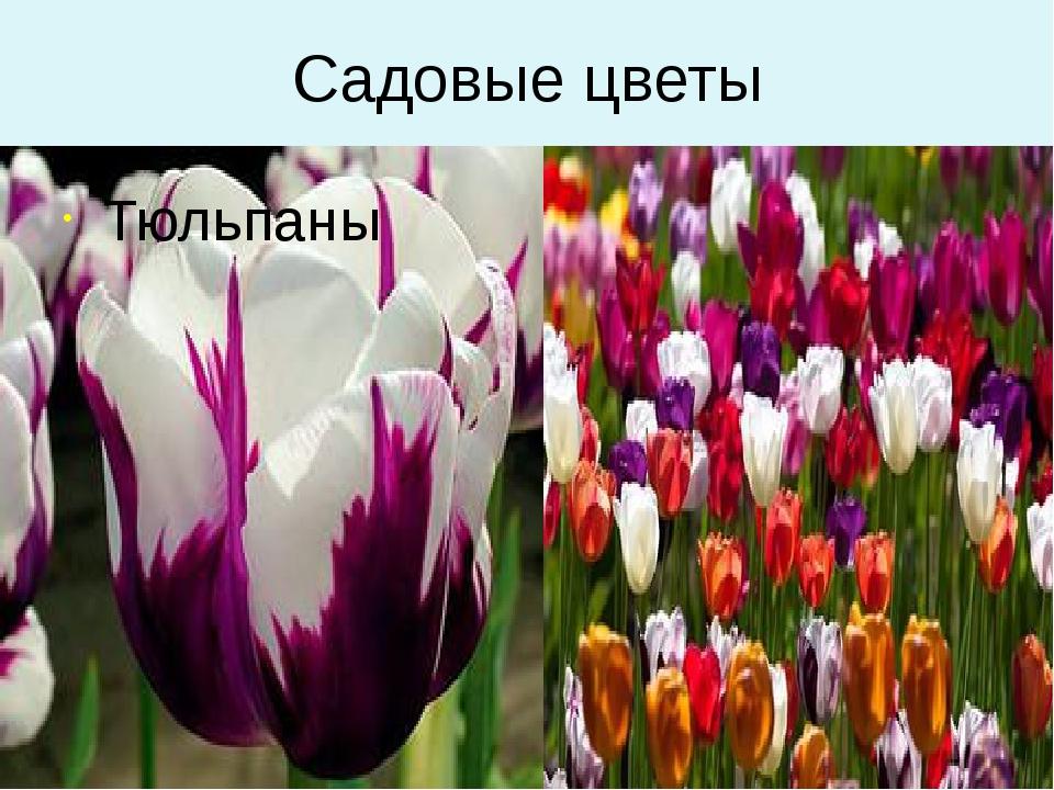 Садовые цветы Тюльпаны