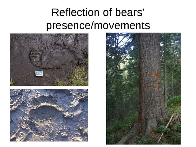 Reflection of bears' presence/movements