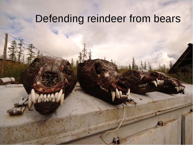 Defending reindeer from bears