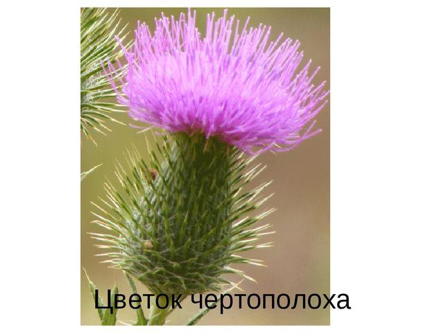 Цветок чертополоха