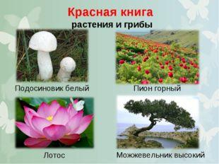Красная книга растения и грибы Подосиновик белый Пион горный Можжевельник выс