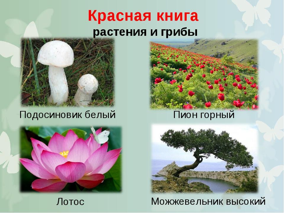Красная книга растения и грибы Подосиновик белый Пион горный Можжевельник выс...