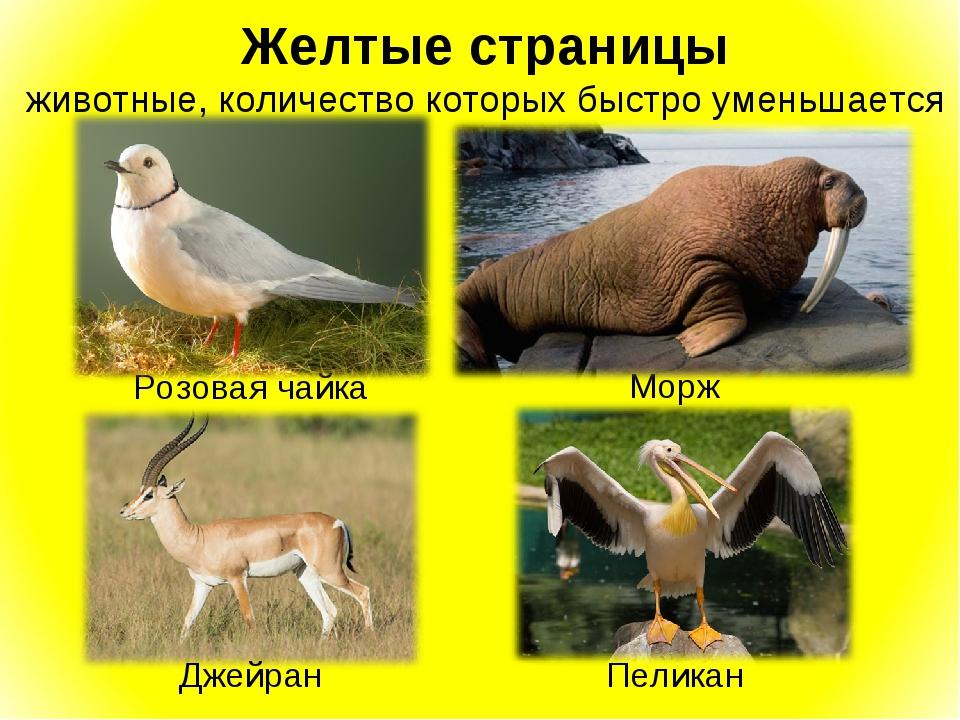 Желтые страницы животные, количество которых быстро уменьшается Розовая чайка...