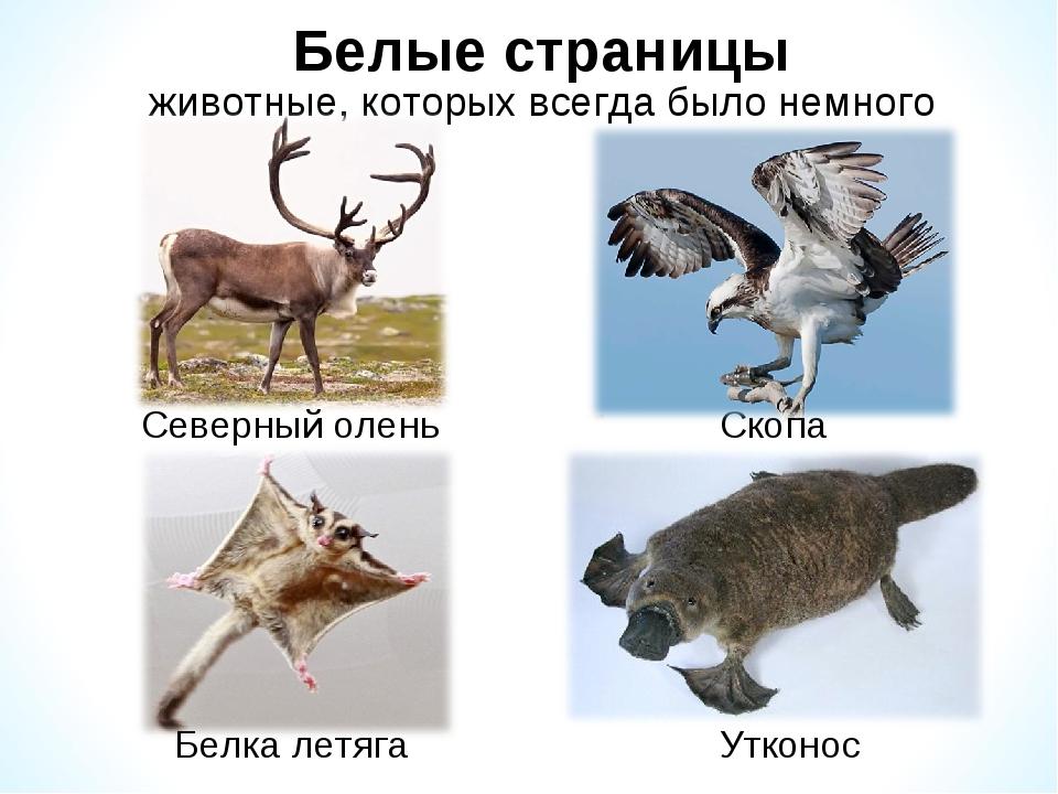 Белые страницы животные, которых всегда было немного Скопа Северный олень Бел...