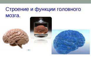 Строение и функции головного мозга.