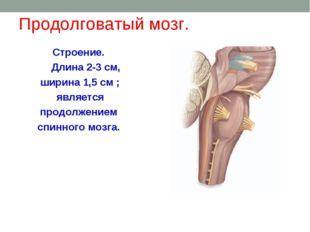 Продолговатый мозг. Строение. Длина 2-3 см, ширина 1,5 см ; является продолже