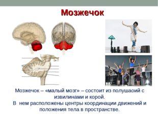 Мозжечок Мозжечок – «малый мозг» – состоит из полушаоий с извилинами и корой.