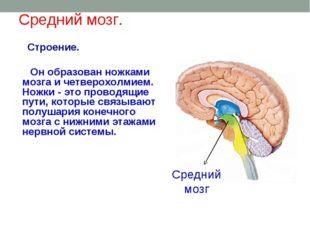Средний мозг. Строение. Он образован ножками мозга и четверохолмием. Ножки -