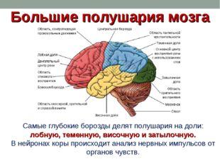 Большие полушария мозга Самые глубокие борозды делят полушария на доли: лобну