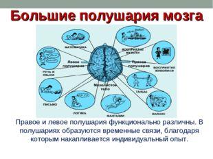 Большие полушария мозга Правое и левое полушария функционально различны. В по
