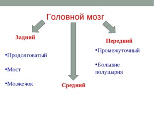 Головной мозг Задний Средний Передний Продолговатый Мост Мозжечок Промежуточн