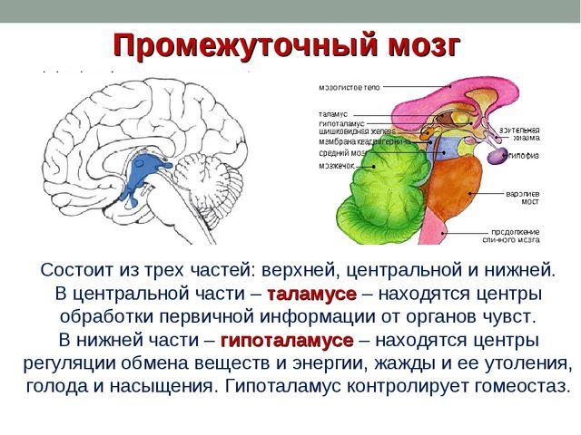 Промежуточный мозг Состоит из трех частей: верхней, центральной и нижней. В ц...