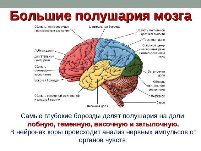 Большие полушария мозга Самые глубокие борозды делят полушария на доли: лобну...