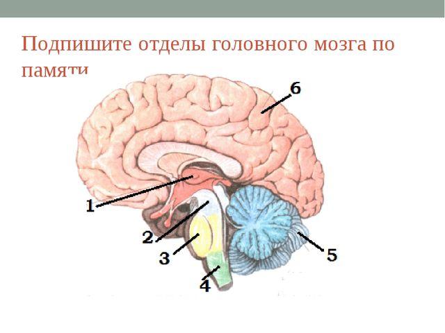 Подпишите отделы головного мозга по памяти