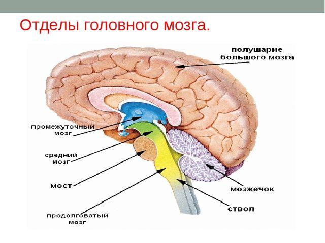 Отделы головного мозга.