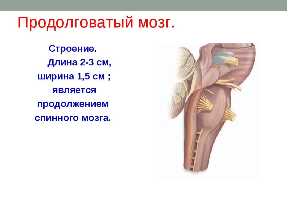 Продолговатый мозг. Строение. Длина 2-3 см, ширина 1,5 см ; является продолже...