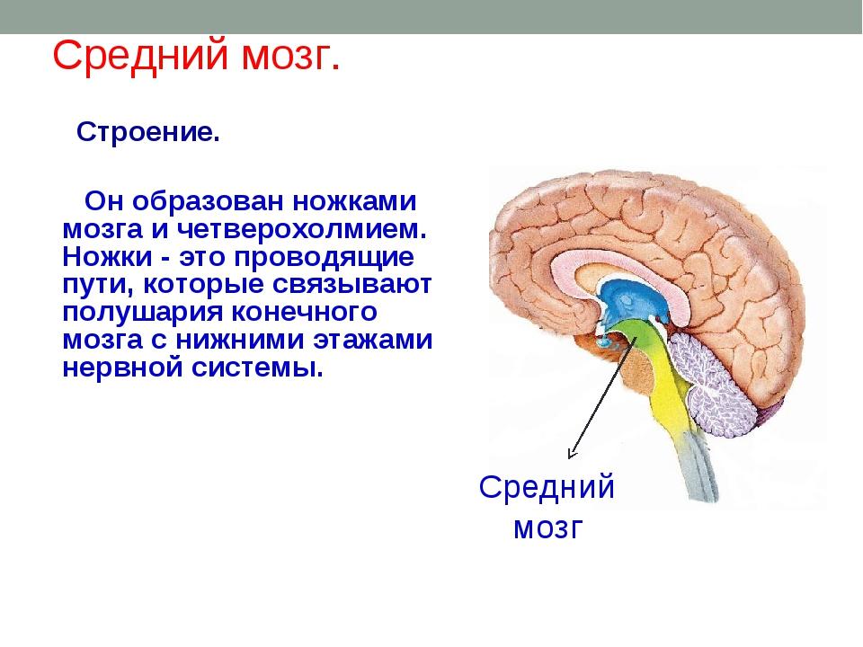 Средний мозг. Строение. Он образован ножками мозга и четверохолмием. Ножки -...