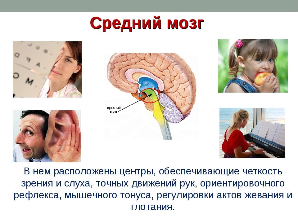 Средний мозг В нем расположены центры, обеспечивающие четкость зрения и слуха...