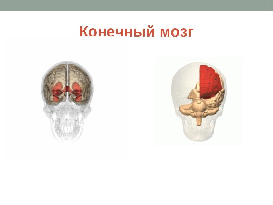 Конечный мозг