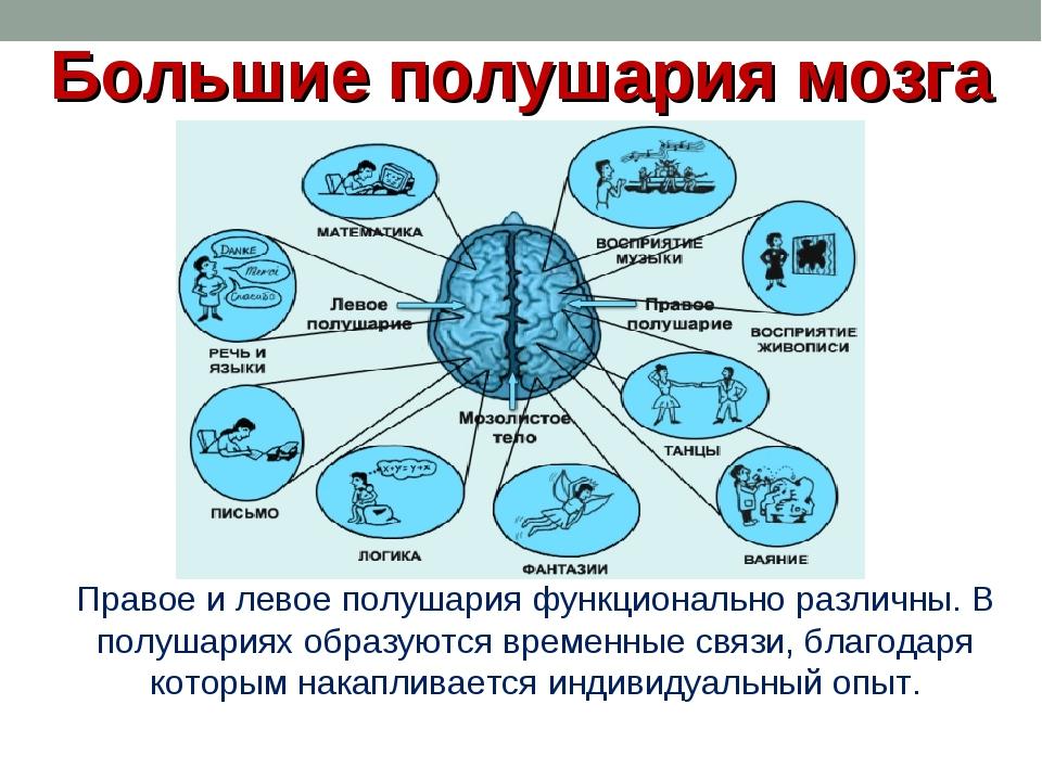 Большие полушария мозга Правое и левое полушария функционально различны. В по...