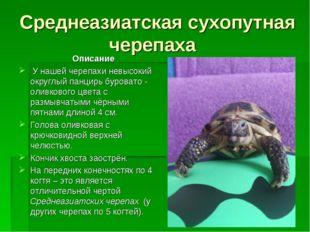 Среднеазиатская сухопутная черепаха Описание У нашей черепахи невысокий округ