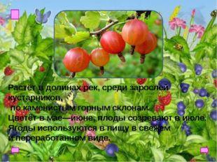 ГОЛУБИКА Эту ягоду можно отыскать на склонах гор, в болотах, торфяниках, тун