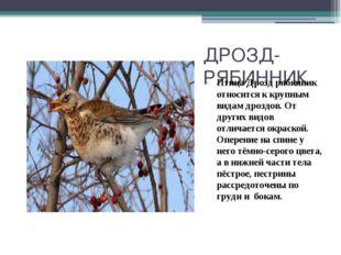 ДРОЗД-РЯБИННИК Птица Дрозд рябинник относится к крупным видам дроздов. От дру