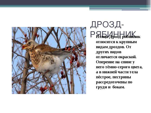 ДРОЗД-РЯБИННИК Птица Дрозд рябинник относится к крупным видам дроздов. От дру...