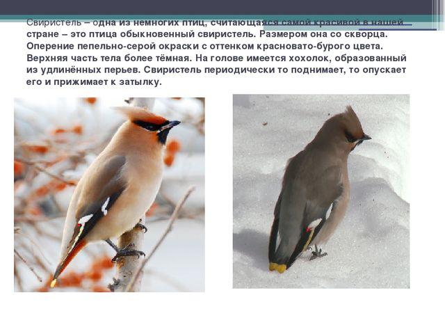 Свиристель – одна из немногих птиц, считающаяся самой красивой в нашей стране...