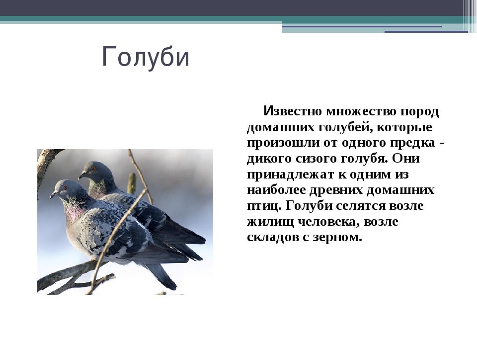 Голуби Известно множество пород домашних голубей, которые произошли от одного...