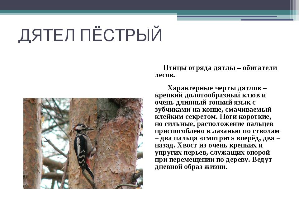 ДЯТЕЛ ПЁСТРЫЙ Птицы отряда дятлы – обитатели лесов. Характерные черты дятлов...