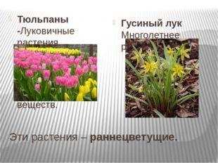 Эти растения – раннецветущие. Тюльпаны -Луковичные растения. Луковица – это п