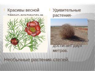 Необычные растения степей. Красивы весной тёмно-малиновые махровые цветки пио