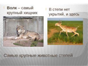 Самые крупные животные степей Волк – самый крупный хищник степей. Прочитайте
