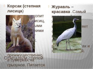 Обитатели степей Корсак (степная лисица) -хищноемлекопитающееродалисиц, с