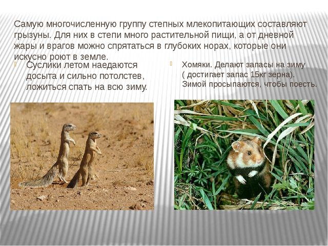 Самую многочисленную группу степных млекопитающих составляют грызуны. Для них...
