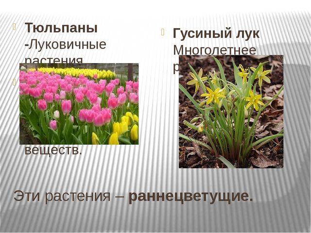 Эти растения – раннецветущие. Тюльпаны -Луковичные растения. Луковица – это п...